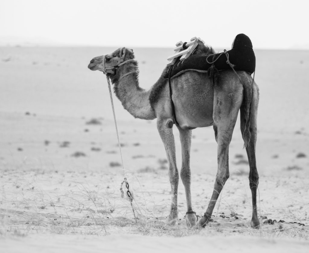 Camel tells a human how to survive in the toughest conditions so is life