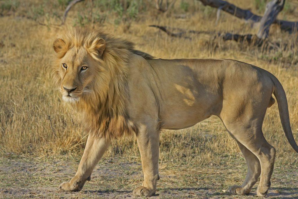 Lion, a king, yet graceful than human