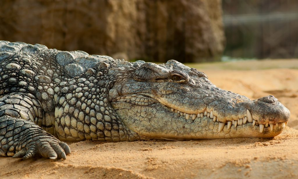 Crocodile can teach human when to make right move to hunt target