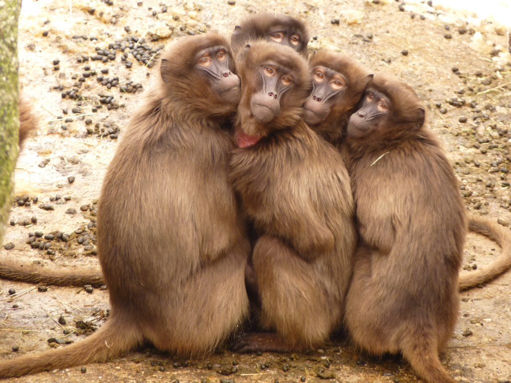 Monkeys Are More Human, Learn Humanity From Them