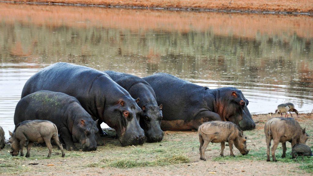 Hippopotamus-Pix-Pixabay LoveYouFamily.com