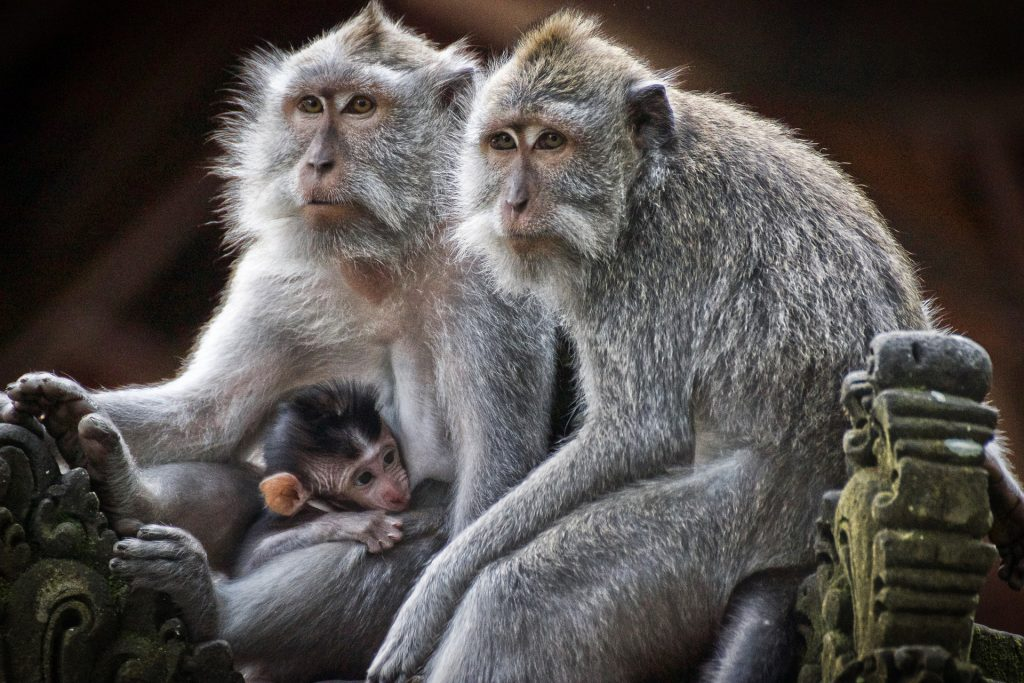 Monkeys, Who Share Common Ancestors With Human Being-Pix-Pixabay LoveYouFamily.com