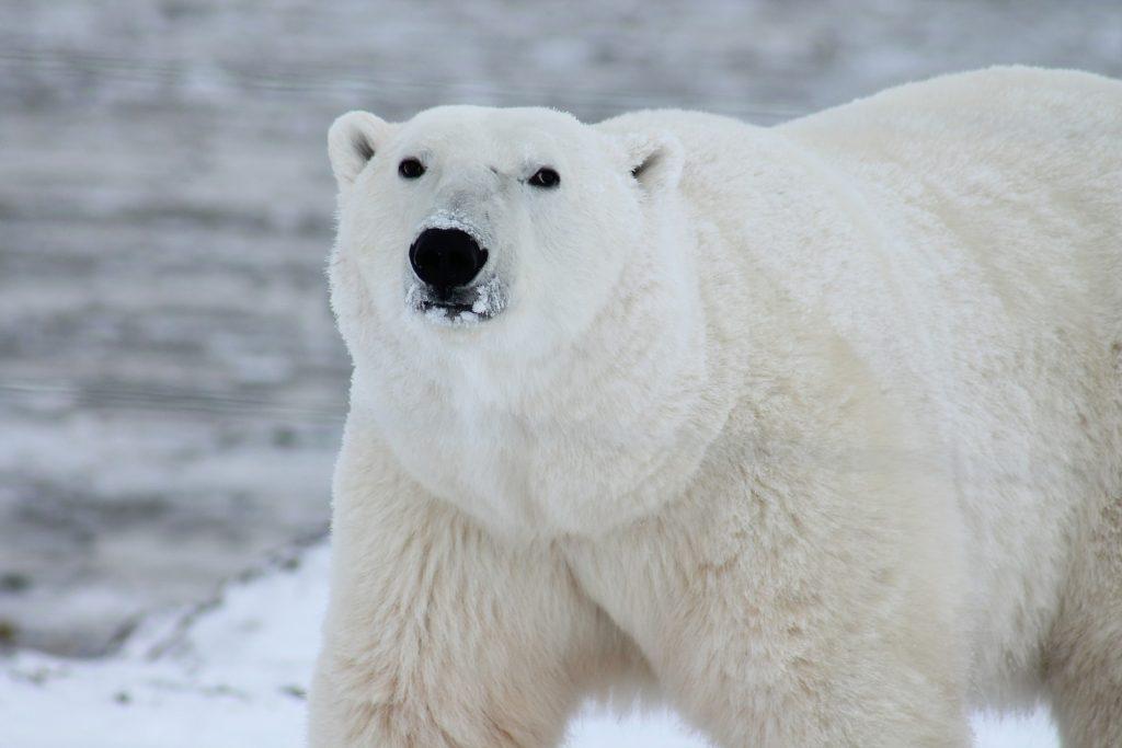 Polar-Pix-Pixabay LoveYouFamily.com